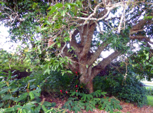 image of mango tree